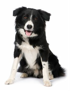 choisir un chien de berger