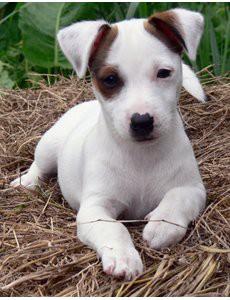 choisir un chien jack russel