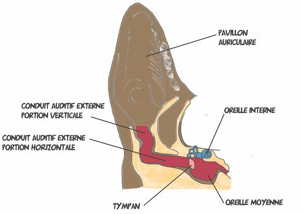 anatomie-oreilles-chien