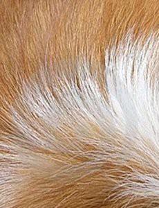 chien-qui-perd-ses-poils