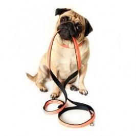 Dresser son chien à porter<br /> un collier et une laisse