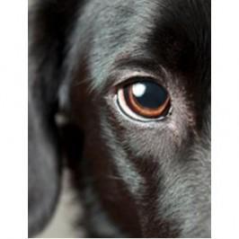 Comment nettoyer les<br /> yeux de son chien ?
