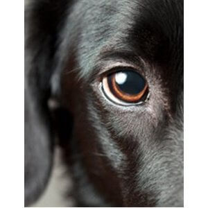 Nettoyer les yeux de son chien