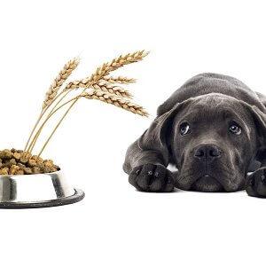 besoins alimentaire chien glucides