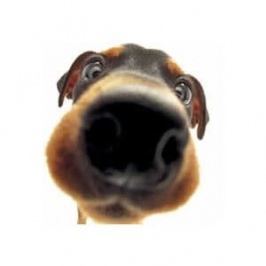 Votre chien renifle en stéréo !