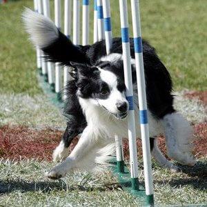 Champion du monde d'agility : un chien parfaitement dressé