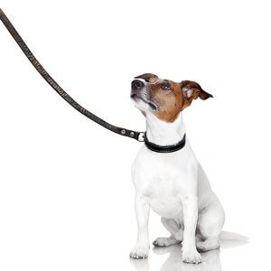 promener chien en laisse