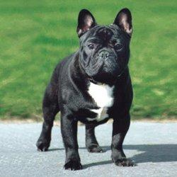 race-de-chien-bulldog-francais