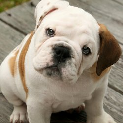race-de-chien-bulldog