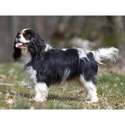 race-de-chien-cavalier-king