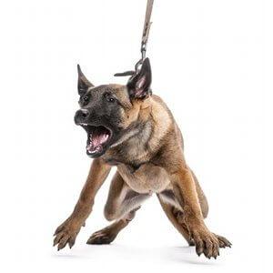 mon-chien-tire-en-laisse
